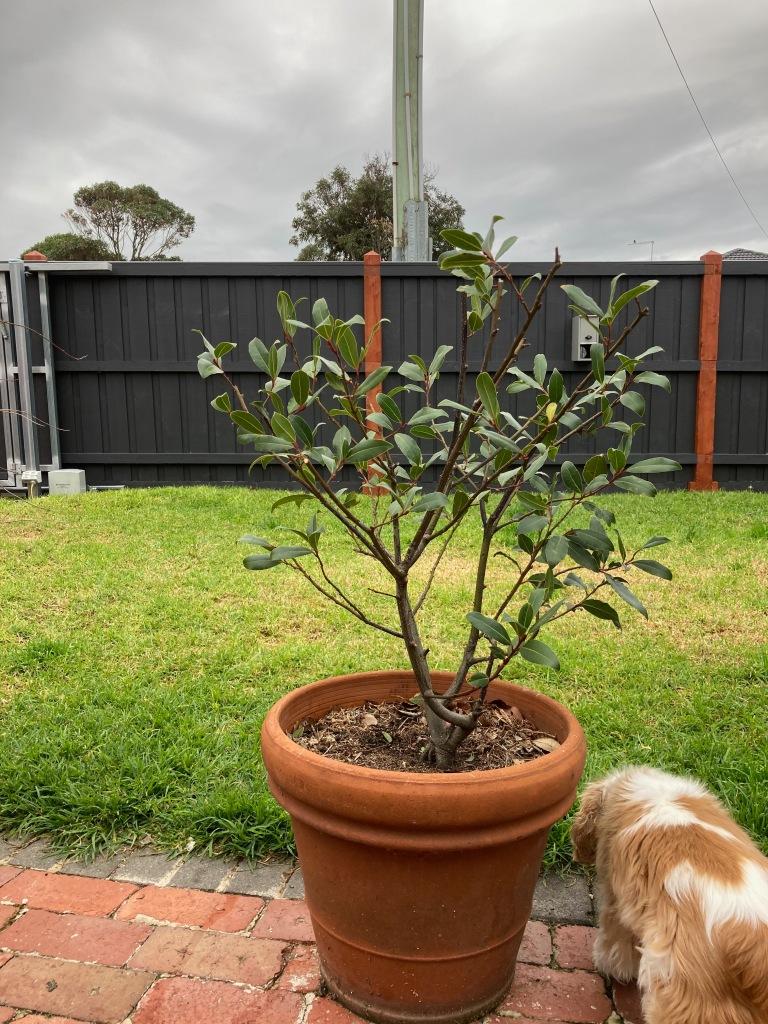 Bay tree in a pot.
