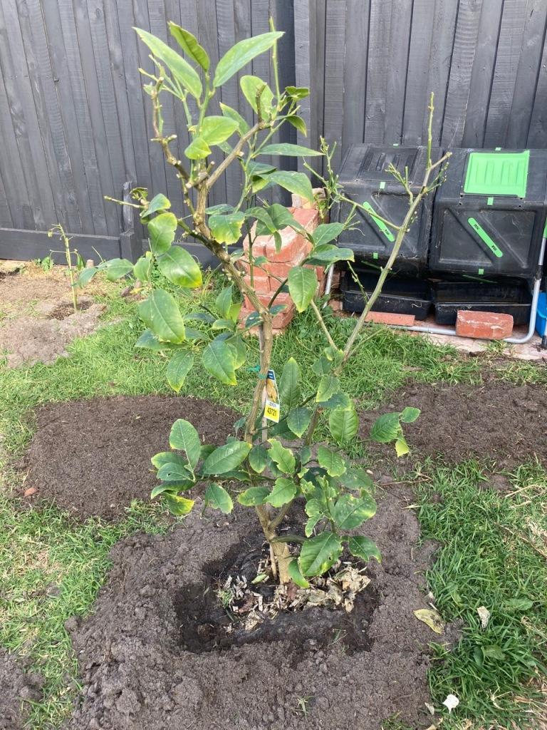 Half-eaten lemon tree