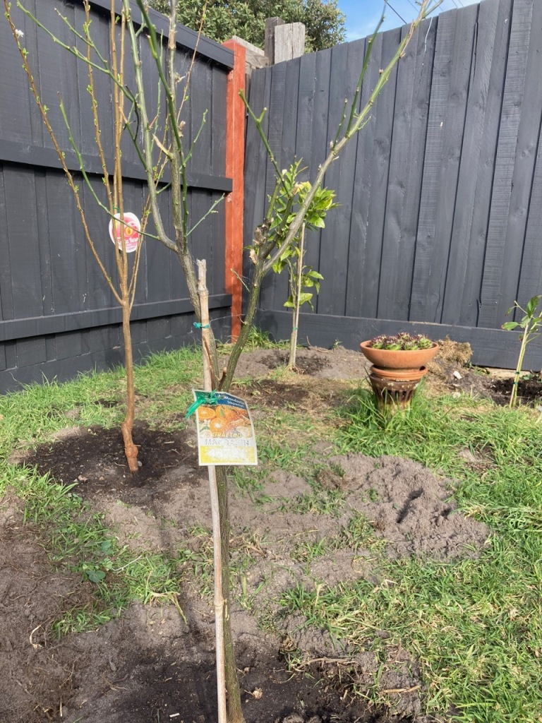 Mandarin tree without leaves.