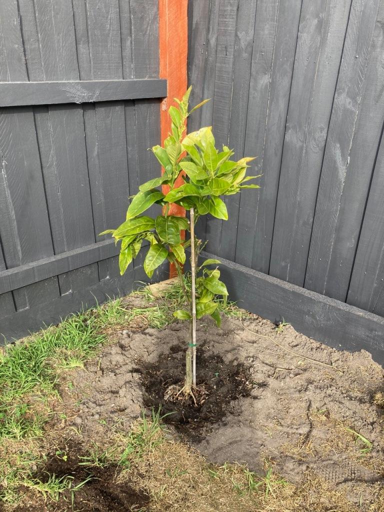 Health(ier) looking blood orange tree.
