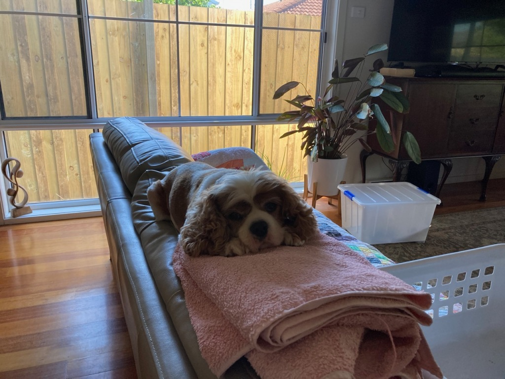 Cavalier on the back of the couch with his head resting on a pile of towels.