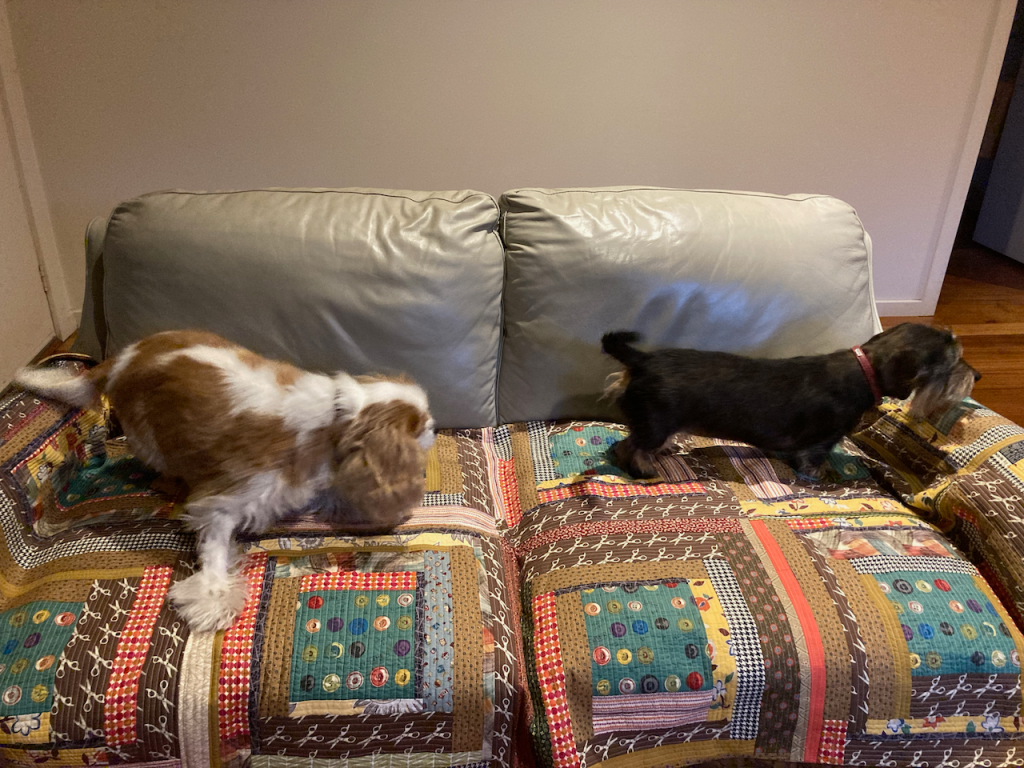 Poppy and Scout checking it out on the couch.